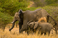 A herd of African Elephants, Camp Jabulani, Kapama Private Game Reserve, near Kruger National Park, South Africa
