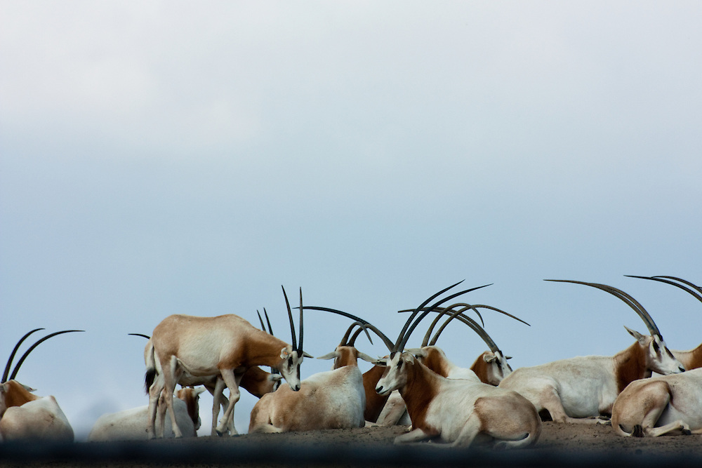 A herd of Oryx gazella