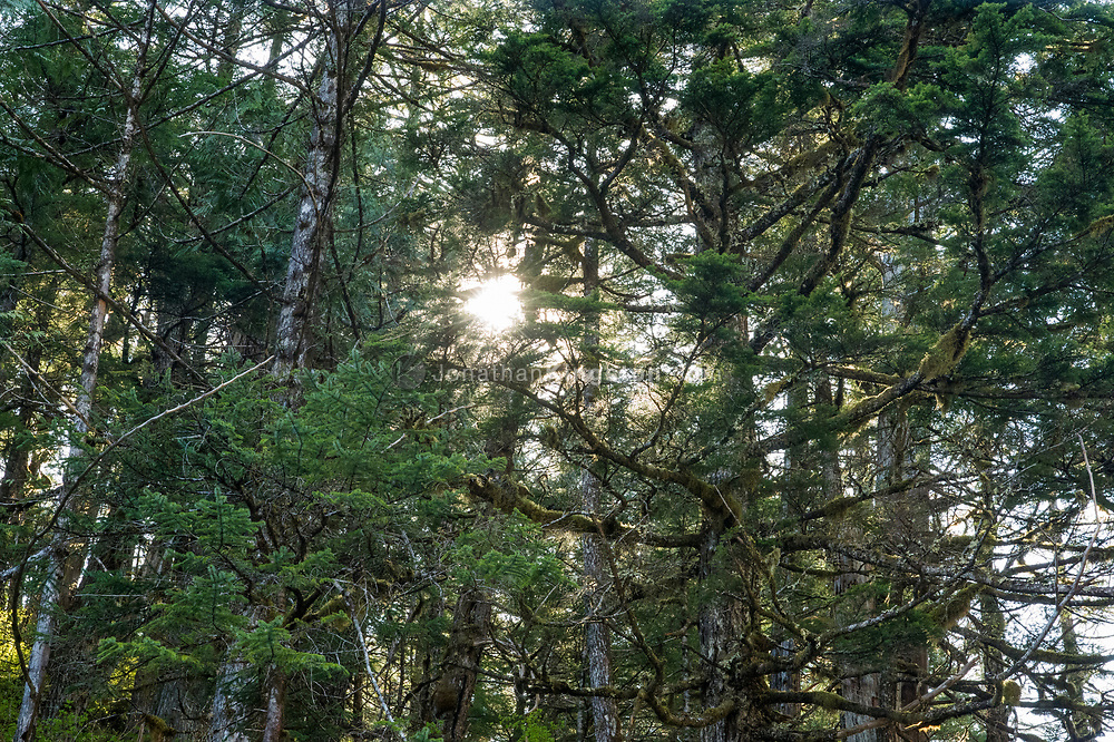 Sunburst through tree branches of a temperate rain forest.