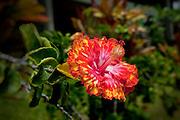 Hibiscus, Maui, Hawaii