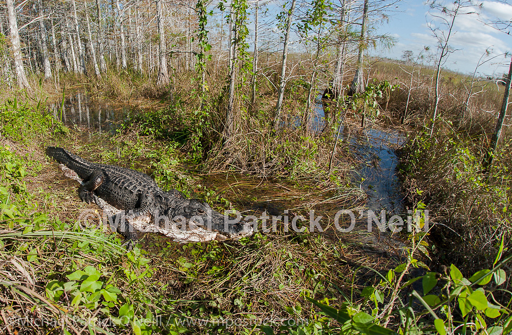 An American Alligator, Alligator mississippiensis, feeds on an invasive Burmese Python, Python bivittatus, in Evergaldes National Park in South Florida. Inadvertently introduced into wetlands, pythons have multiiplied and severely impacted local wildlife.