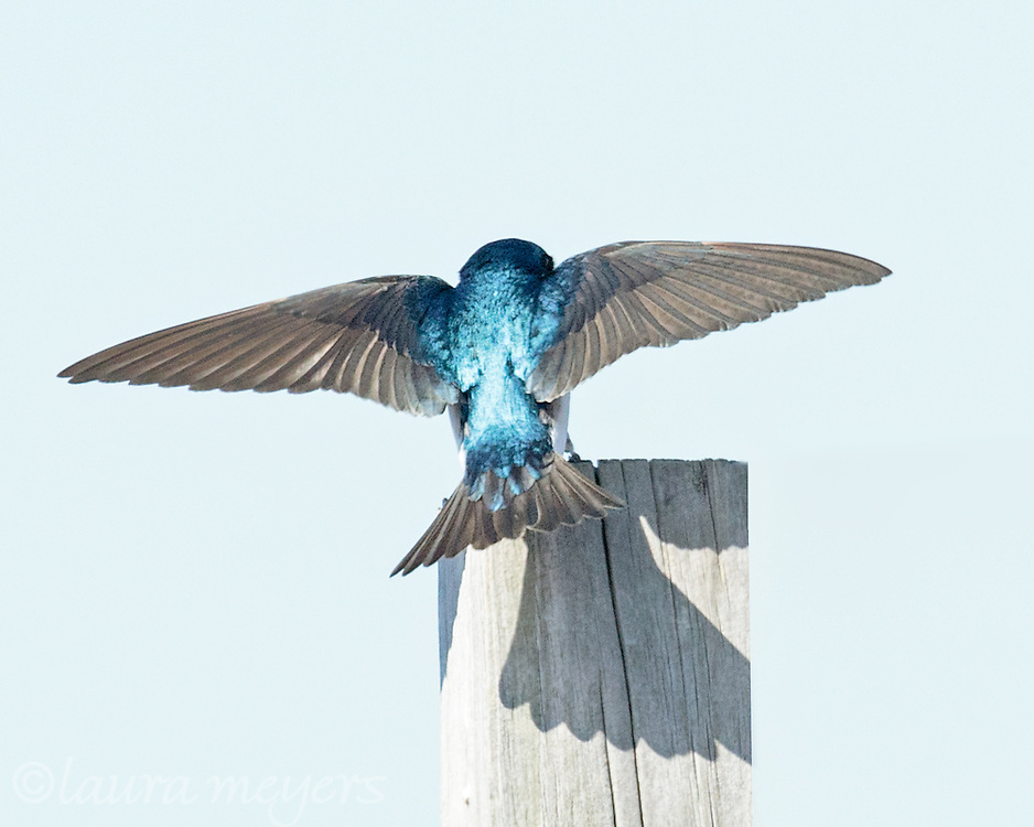 Tree Swallow on Nesting Box with wings spread