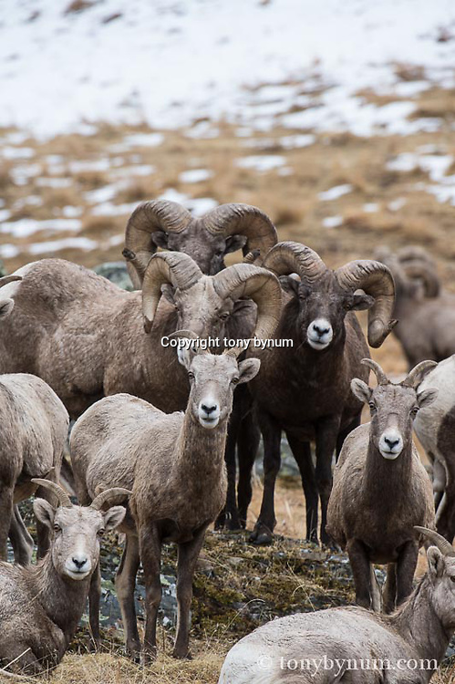 trophy bighorn sheep with ewes