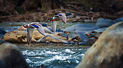 Rapid Mallards Over Rapids, Oella, Maryland.