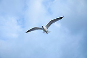 Close up underside of wings and feathers of Ring-billed gull, Larus delawarensis, soaring in lone flight at Cape Cod, USA