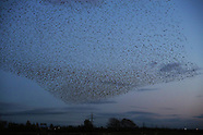 UK - Starling Murmuration On Scottish Border - 08 Nov 2016