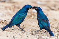 Cape Glossy Starling male feeding a female as part of pair bonding, Kgalagadi Transfrontier Park, Northern Cape, South Africa