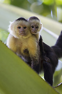 Portrait of adult and juvenile Brown Capuchin Monkey (Cebus paella), Osa Peninsula, Costa Rica