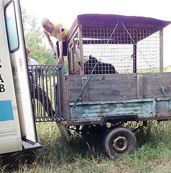 Rescued  - Masha the brown bear. <br /> Masha the brown bear rescued from a group of mafia who ran a bear baiting tournaments.<br /> The owner of Masha handing her over in a field just miles from the Russian border, Ukraine, Monday, 2nd September 2013. Picture by Roger Allen / i-Images