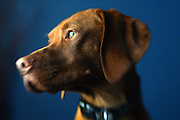 """Tanner"" a male Vizsla. The Vizsla, as described in the American Kennel Club (AKC) standard, is a medium-sized short-coated hunting dog of distinguished appearance and bearing. Robust but rather lightly built; the coat is a golden-rust color. The coat could also be described as a copper/brown color. They are lean dogs, and have defined muscles, and are similar to a Weimaraner. Vizslas are lively, gentle-mannered, loyal, caring and highly affectionate. They quickly form close bonds with their owners, including children. Often they are referred to as ""velcro"" dogs because of their loyalty and affection. They are quiet dogs, only barking if necessary or provoked. They are natural hunters with an excellent ability to take training (American Breed Standard, AKC). Not only are they great pointers, but they are excellent retrievers as well..(Photo by MARC PISCOTTY / © 2006)"