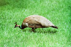 10 June 2001: Miller Park Zoo<br /> peacock<br /> Archive slide, negative and print scans.