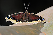 Mourning cloak butterfly on eucalyptus tree branch.
