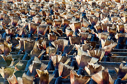 Many cod drying on outdoor racks in Lofoten Islands in Norway
