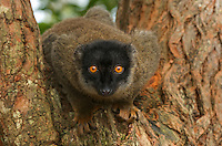Collared Brown Lemurs (Eulemur collaris), Madagascar Image by Andres Morya
