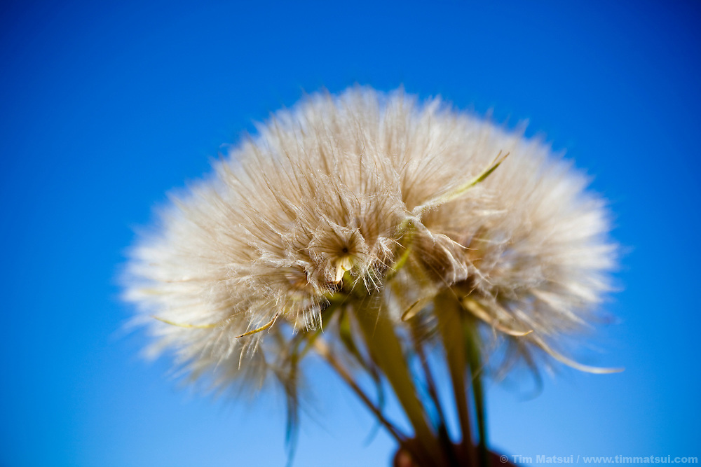 A woman holds a dandelion gone to seed against a clear, blue sky on a sunny day.