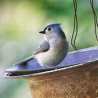NC BLUE BIRDS