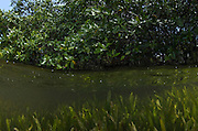 Red Mangrove (Rhizophora mangle) & Turtle grass (Thallasia testinudum)<br /> Lighthouse Reef Atoll<br /> BELIZE, Central America
