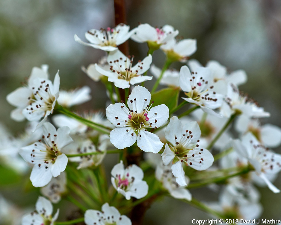Pear (?) Tree Flowers. Image taken with a Fuji X-H1 camera and 60 mm f/2.4 macro lens (ISO 200, 60 mm, f/5.6, 1/125 sec).