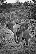 A baby African Elephant with ears out walking toward camera and to the left. Full body.