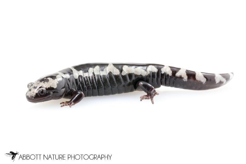 Marbled Salamander  (Ambystoma opacum)<br /> captive individual