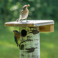 Male and female bluebird perched on a birch bark bird house.  The female bluebird is holding a worm in its beak. The photograph was taken in Wisconsin.