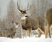 Mule deer look right at home in a snow storm Friday near Cache Creek.