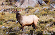 Proud bull Elk posturing for the cows