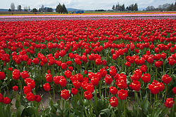 North America, United States, Washington, La Conner, tulips in bloom at annual Skagit Valley Tulip Festival, held in April