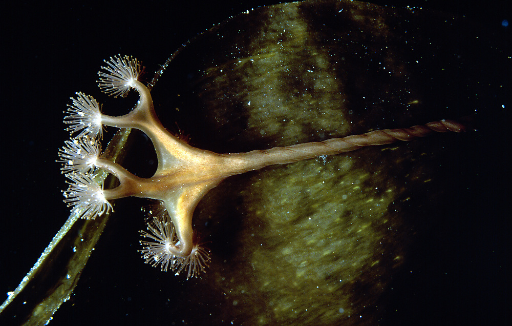 Stalked jellyfish (Lucernaria quadricornis). Location : Stavanger, Norway
