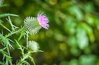 Bull thistle (also known as spear thistle) is another invasive thistle that has spread across most of North America and is most frequently found in disturbed habitats. The benefit of this sharp and prickly, hard to eradicate weed is that it is a very good source of food and nectar for bees, butterflies, birds amd insects.