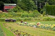 Farm workers tending to vegetables.