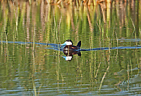 A male Ruddy Duck chases a female Ruddy Duck back and forth in a small pond trying to get her attention.