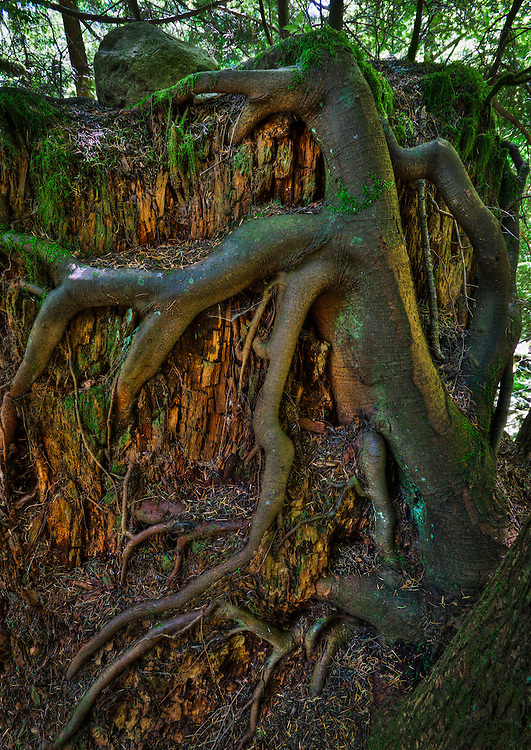 Roots of a tree clinging to and wrapped around an old deteriorating tree stump, Cascade Mountains, Washington, USA.