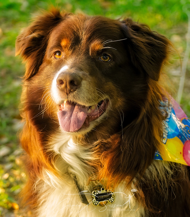 Cowboy, an eight-year-old red tri Australian Shepherd, poses for a picture at his birthday party, April 4, 2016, in Coden, Alabama. (Photo by Carmen K. Sisson/Cloudybright)