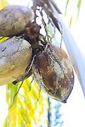 Coconut, Hawaii