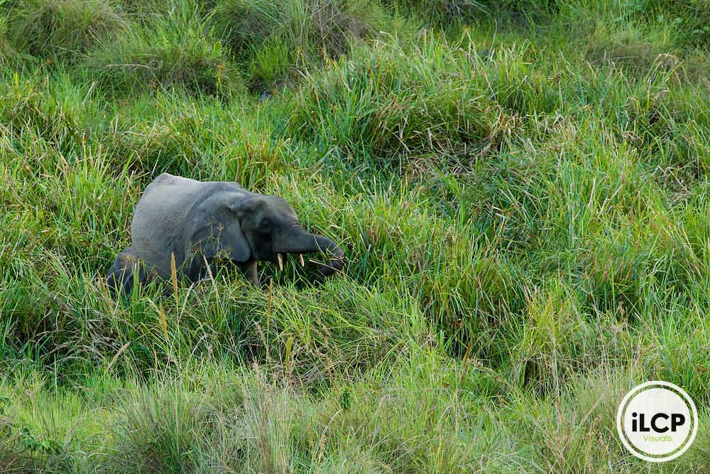 African Forest Elephant (Loxodonta africana cyclotis) female feeding on grasses, Lope National Park, Gabon