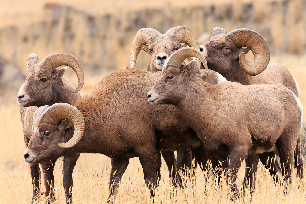 Rams gather near Gardiner, Montana.