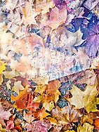 A composite image/multiple exposure created in post production of fall maple leaves and trails of water on a window