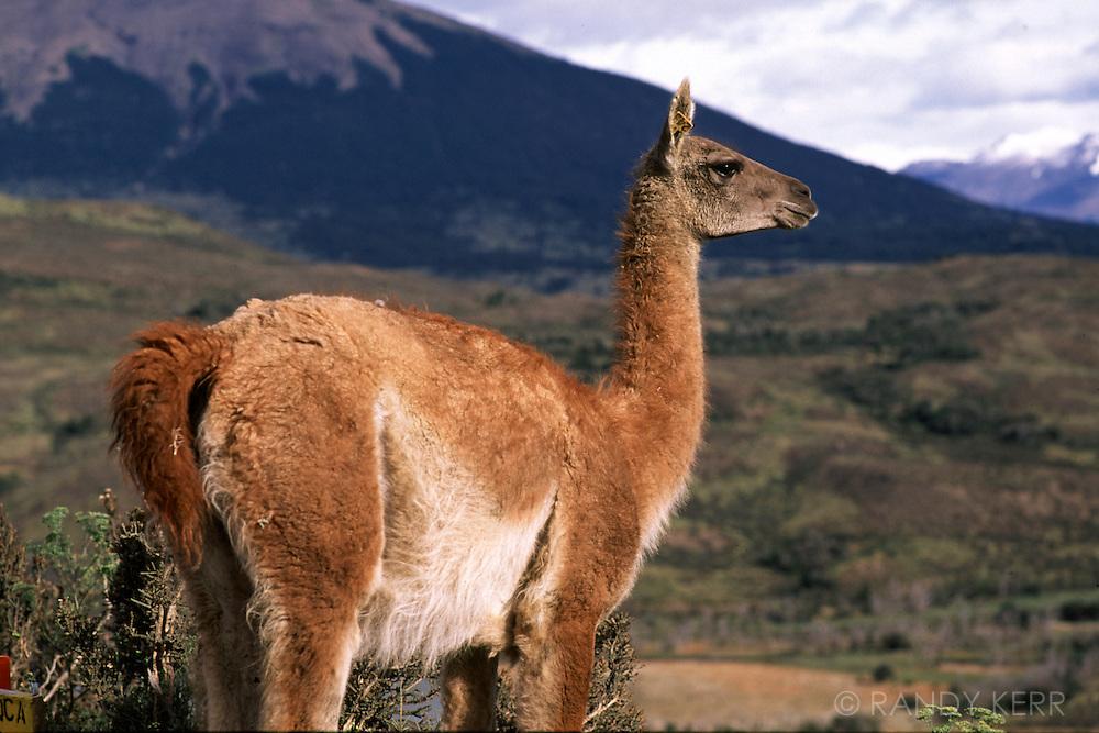 Guanaco In Patagonia