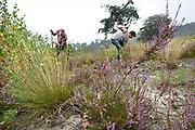 Nederland, Valkenswaard, 7-9-2013vrijwilligers bezig met het verwijderen van jonge berken en vliegdennen om de heidegroei te stimuleren. Onderhoud, berk, berkenboompjesFoto: Flip Franssen/Hollandse Hoogte