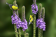 American Goldfinch, Carduelis tristis, Dining On Flower Seeds, Photoshop Composite