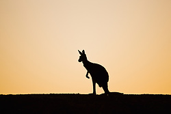 A silhouette of a red kangaroo (Macropus rufus)  hopping on a ridge after sunset,  Sturt Stony Desert,  Australia