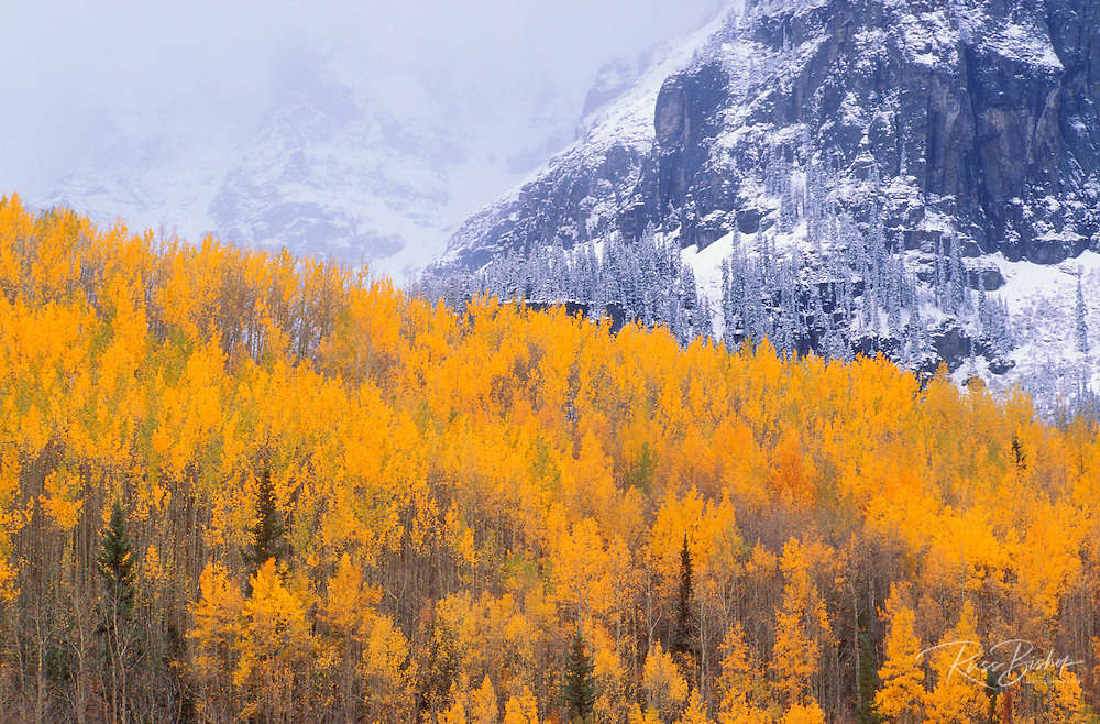 Golden fall aspens and fresh snow, San Juan Mountains, Uncompahgre National Forest, Colorado USA