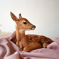 portrait of a fawn sitting on a bed