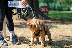 © Licensed to London News Pictures. 27/08/2019. London, UK. A dog walker pours water on a dog to keep him cool in Finsbury Park, north London as the hot weather continues. Photo credit: Dinendra Haria/LNP