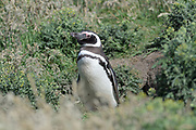 A Magellanic penguin (Spheniscus magellanicus) stands in front of a nest on Carcass Island on Sunday 4th February 2018.
