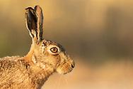 European Hare (Lepus europaeus) adult, close up of head, South Norfolk, UK. June.