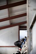 15/02/17 - OLLOIX - PUY DE DOME - FRANCE - GAEC de Savignat. La nurserie aves ses veaux - Photo Jerome CHABANNE
