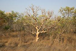 Helicopter tree, Gyrocarpus americanus