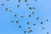 Large loose flock of waders migratory birds in flight over wetlands in North Norfolk where Knots Calidris canutus  gather in UK